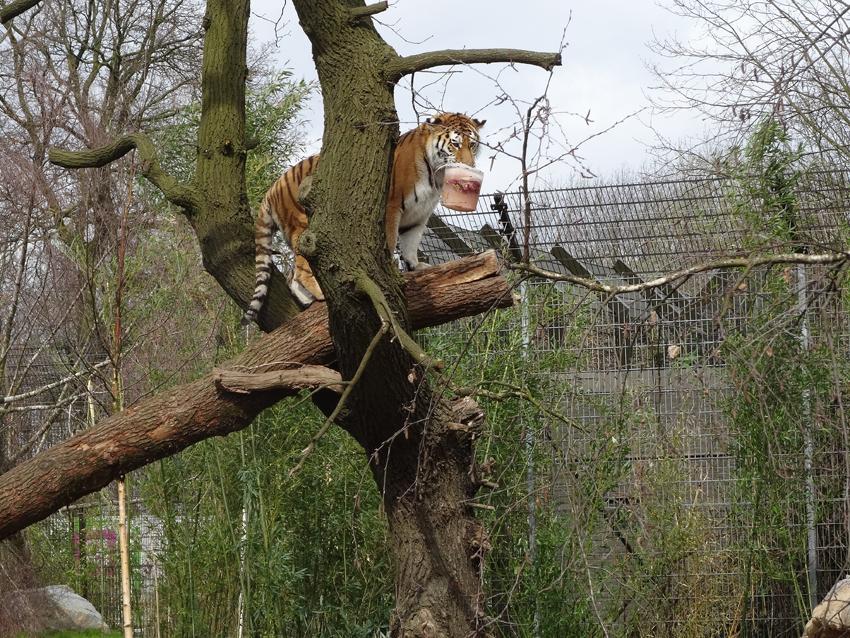 zoo duisburg sibirische tiger el roi und dasha ziehen in neues naturnah gestaltetes tigergehege. Black Bedroom Furniture Sets. Home Design Ideas